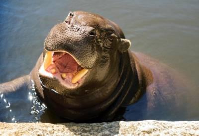 Lagos Zoo - Pygmy hippo