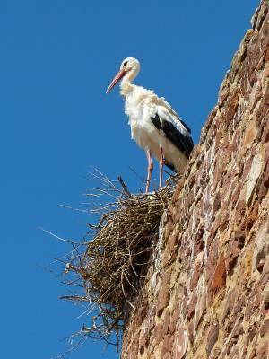 Stork - Algarve, Silves