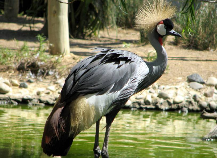 Crane - Lagos Zoo