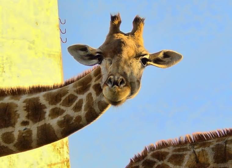 Giraffe - Lisbon Zoo