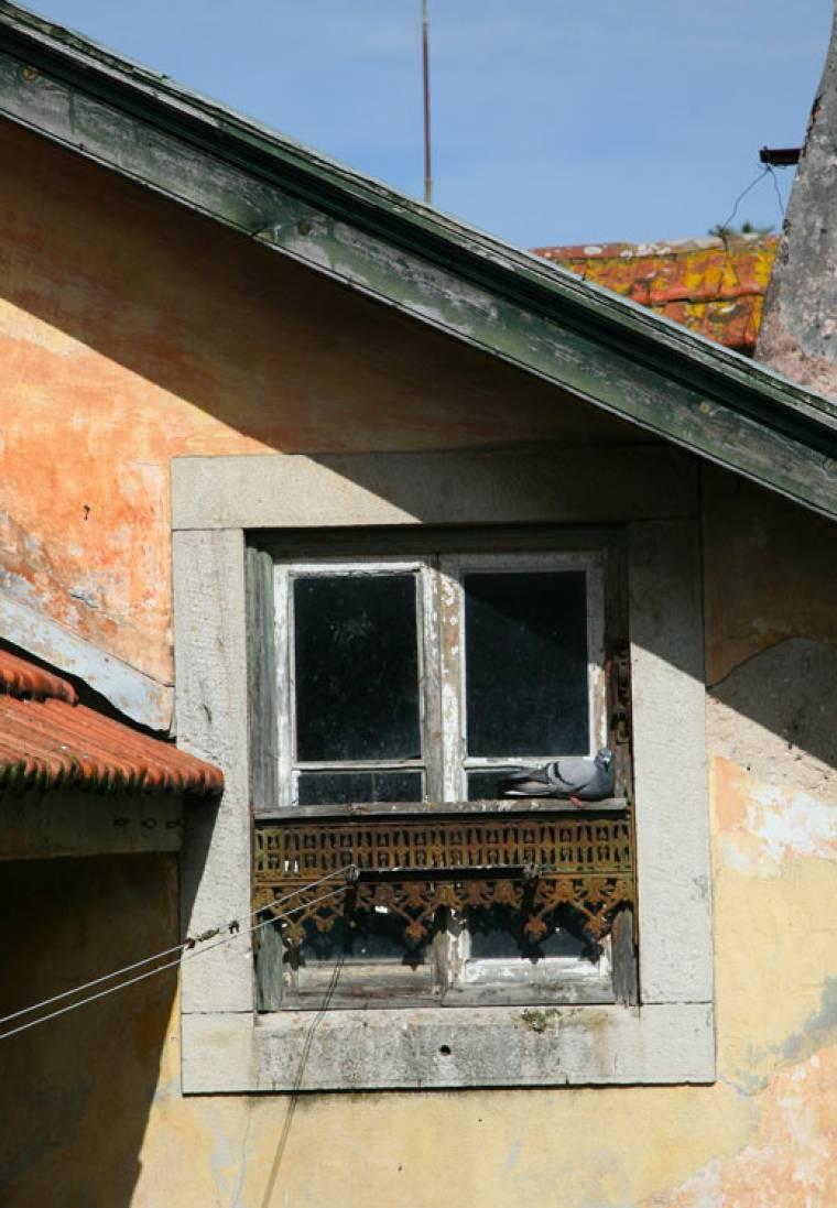 Pigeon and Window